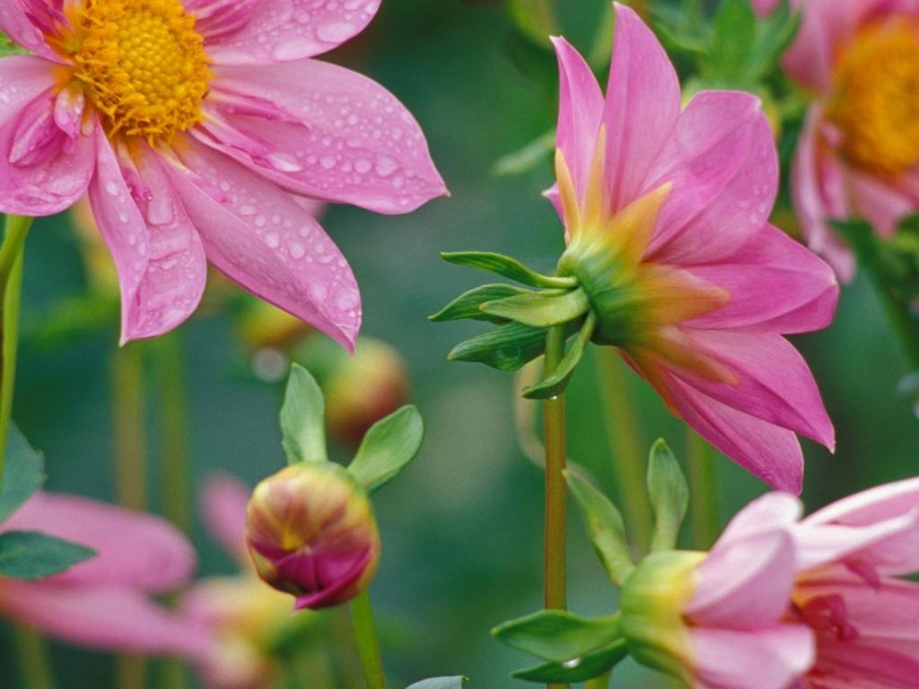 Flores rosadas - 1024x768
