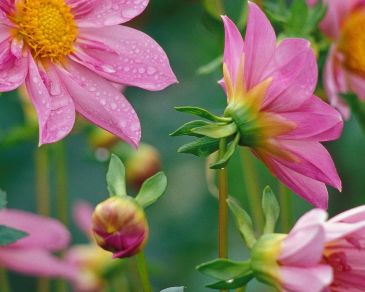Flores rosadas - 1280x1024