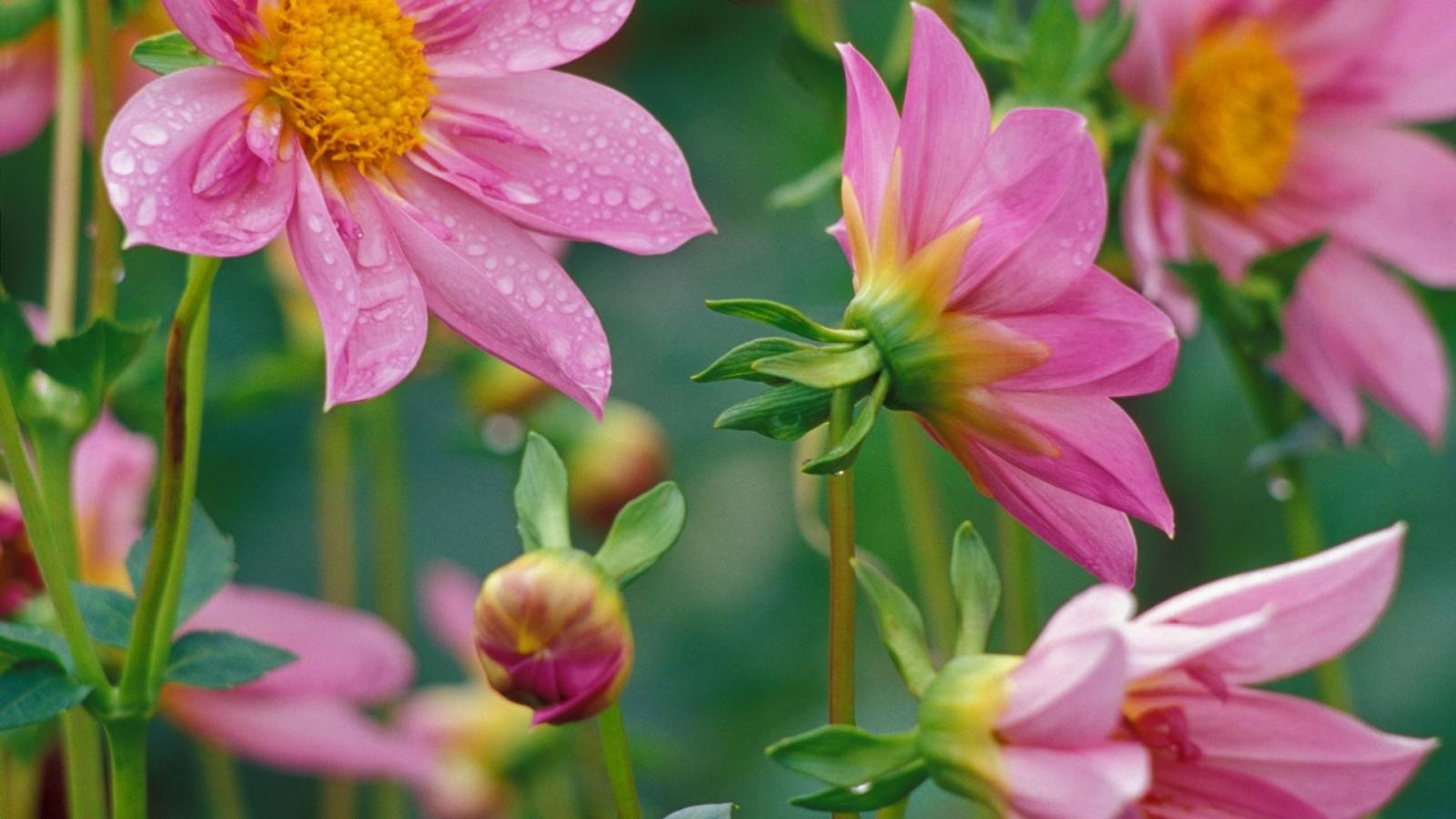Flores rosadas - 1600x900
