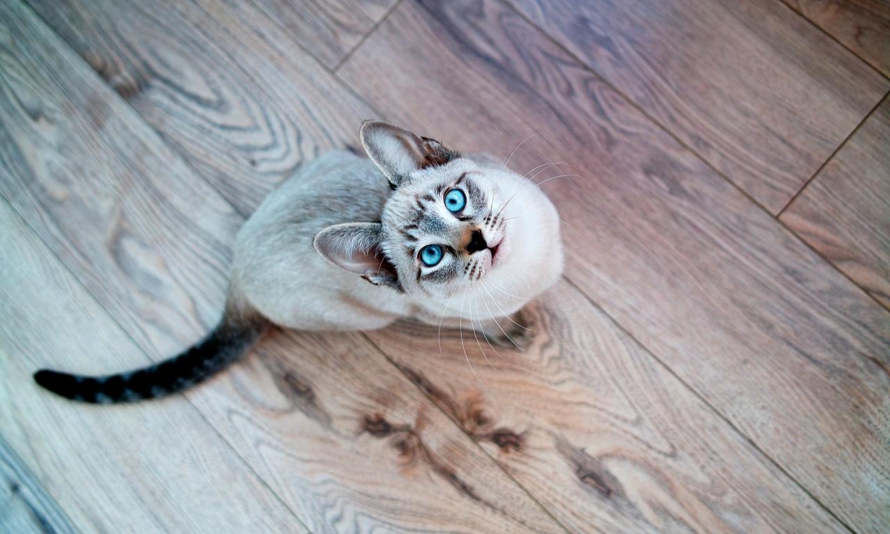 Gato de ojos turquesa - 1280x768