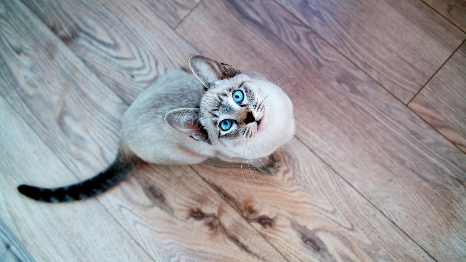 Gato de ojos turquesa - 1600x900