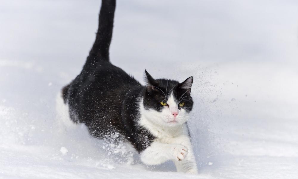 Gato saltando en la nieve - 1000x600
