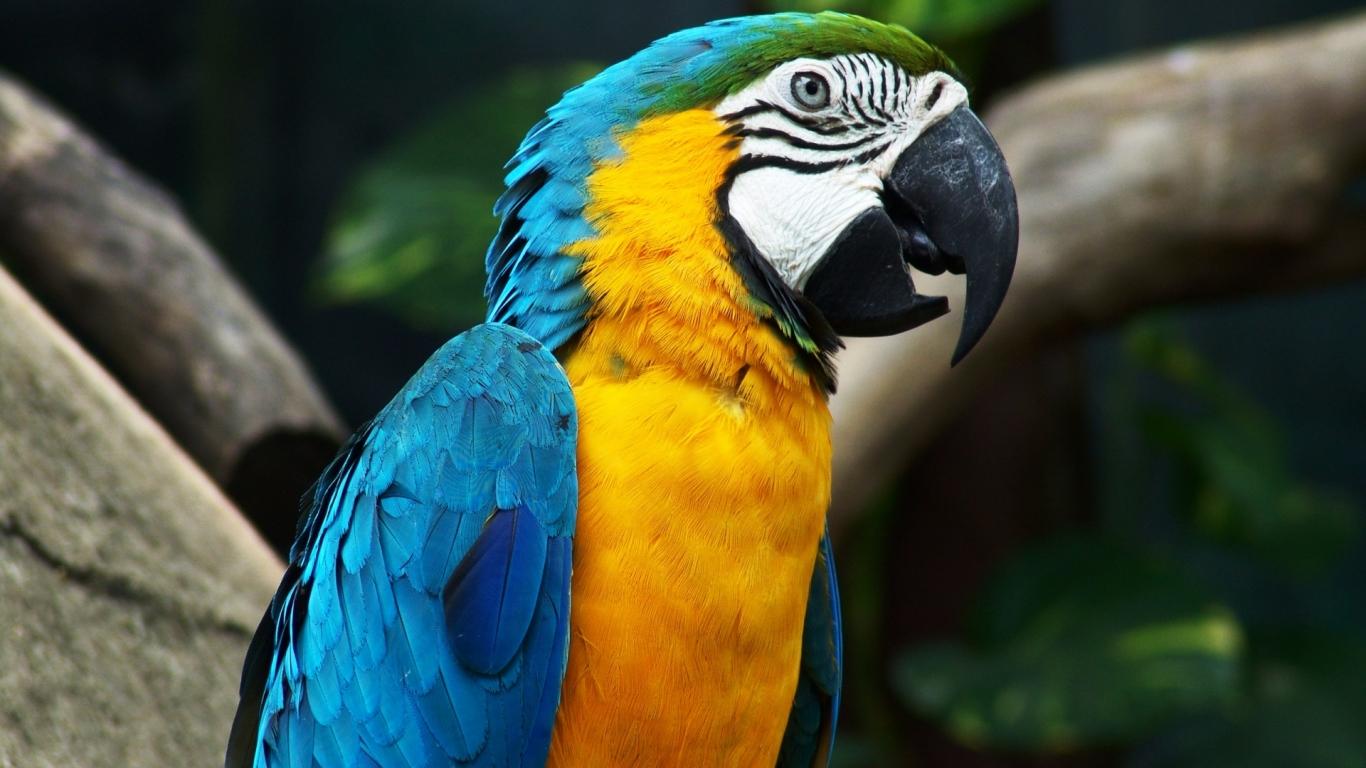 Guacamayo de colores - 1366x768