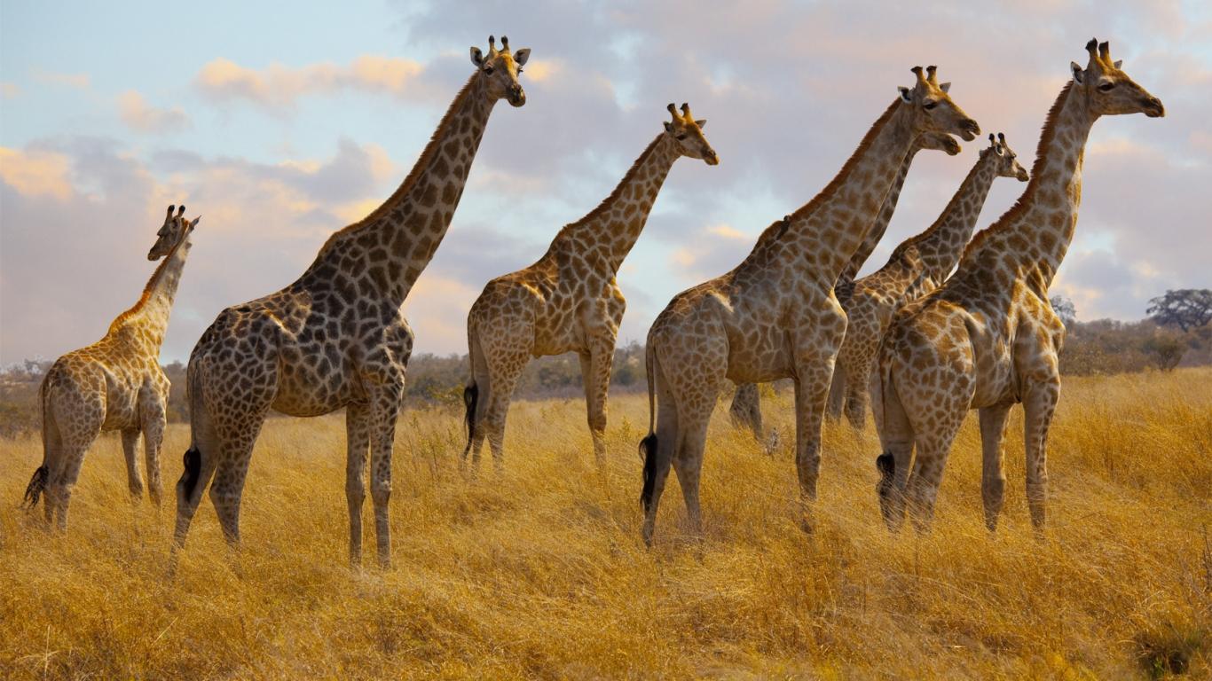Jirafas de Africa - 1366x768