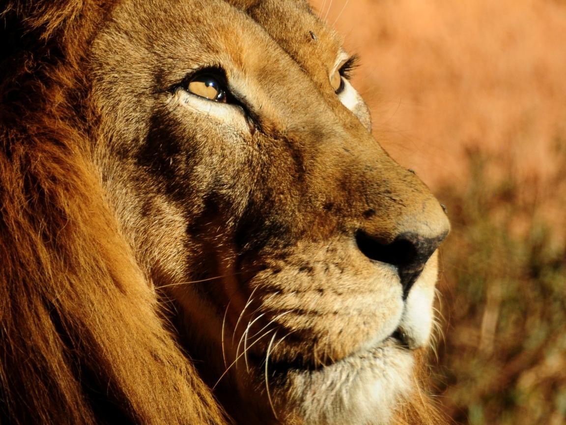 La cara del león - 1152x864