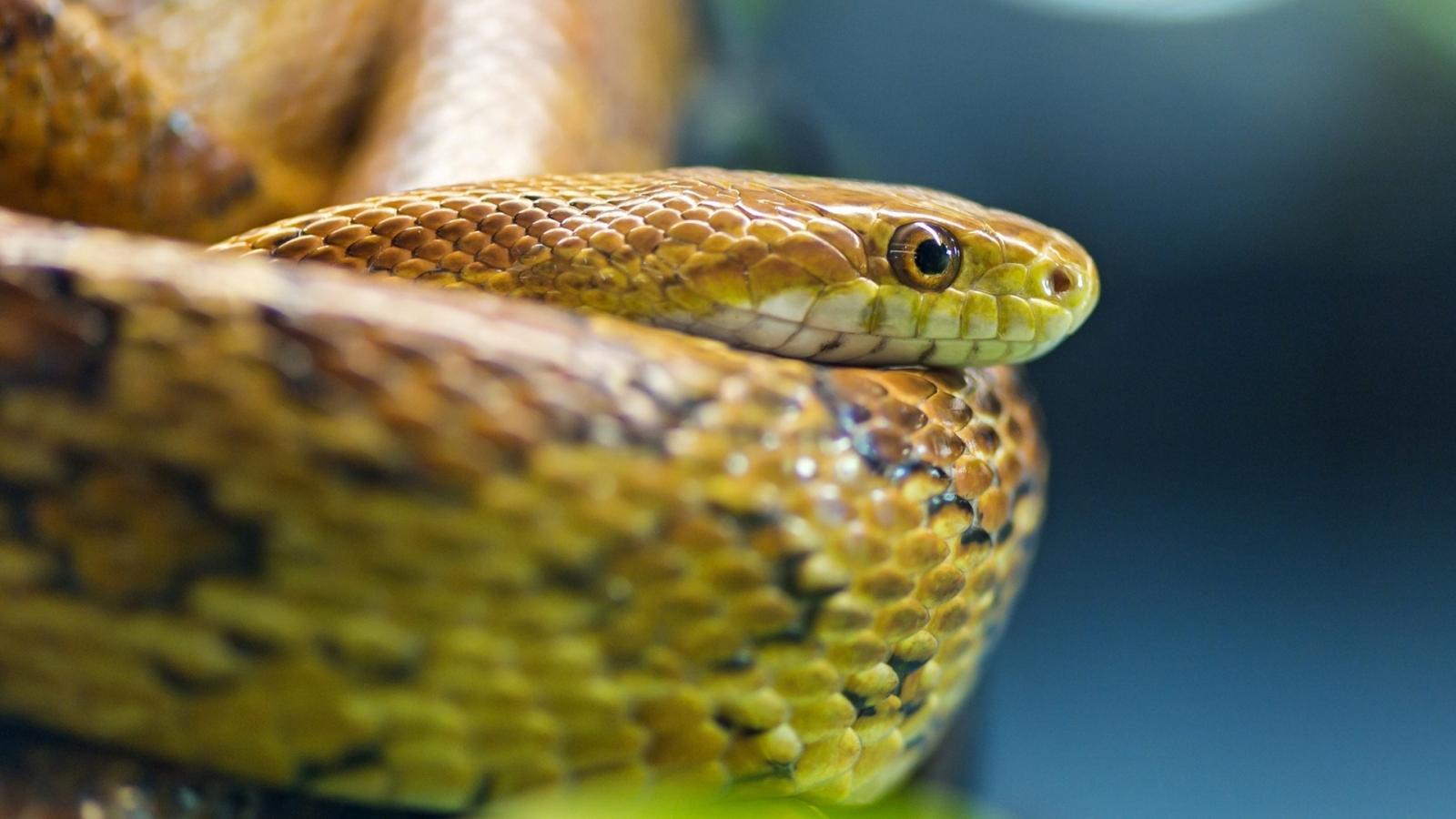 Ojos de serpientes - 1600x900