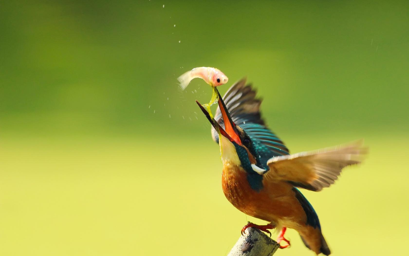 Pájaro pescando - 1680x1050