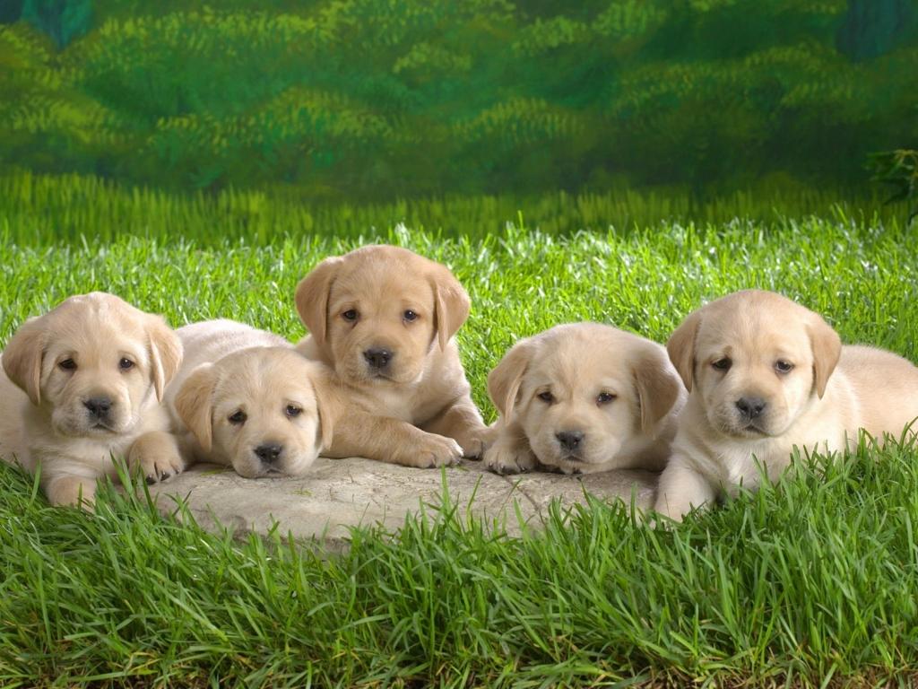 Pequeños perros - 1024x768