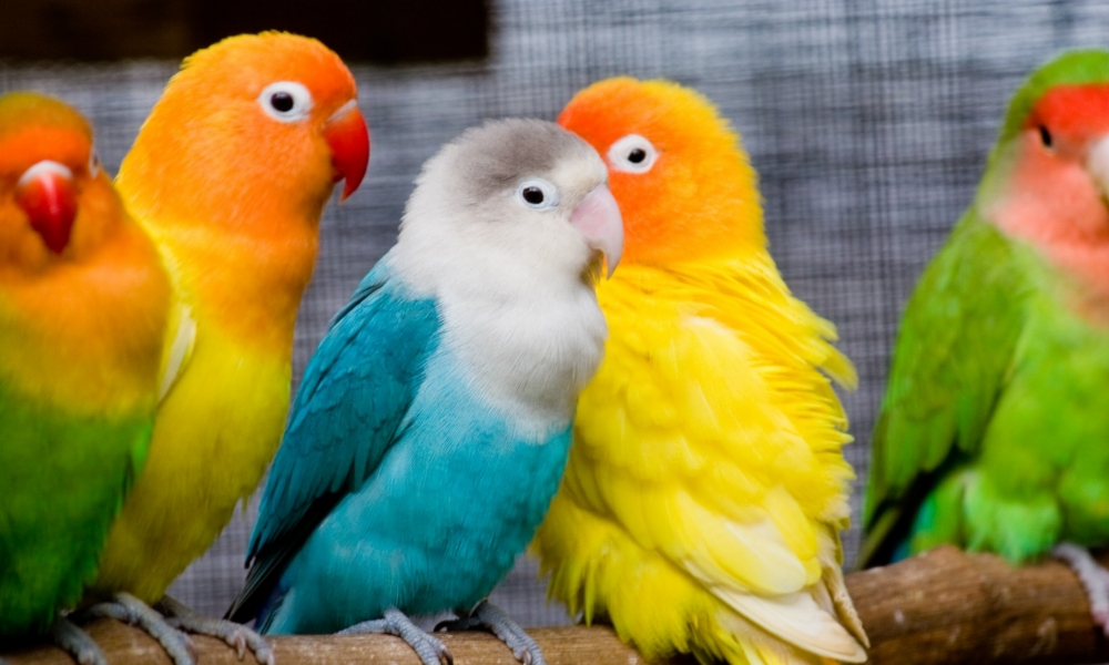 Pericos multicolor - 1000x600