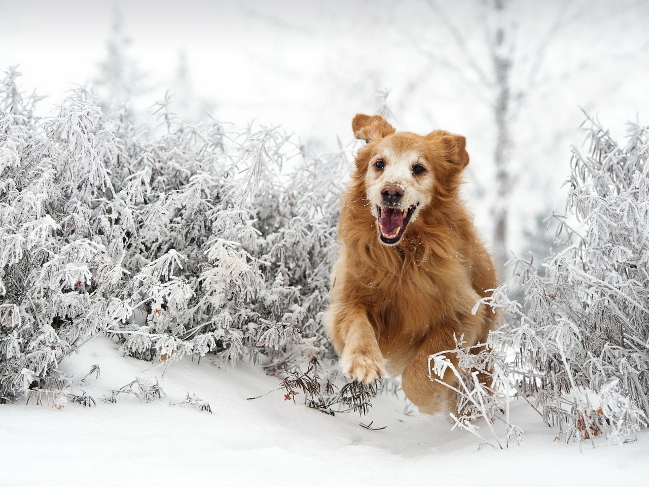 Perro saltando en la nieve - 1280x960