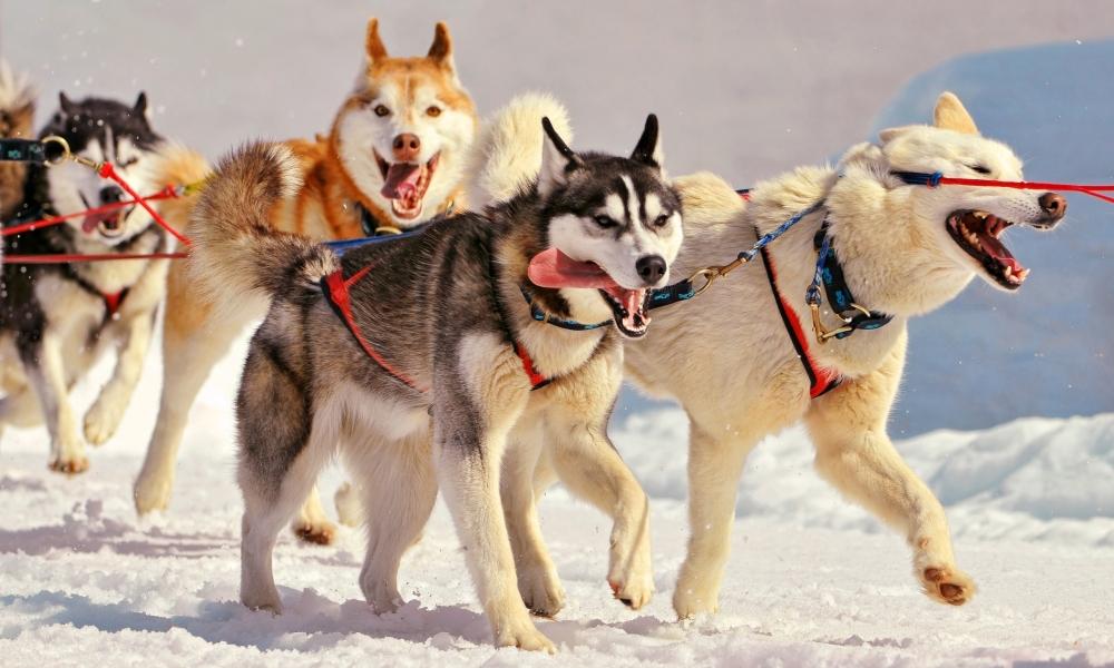 Perros en la nieve - 1000x600