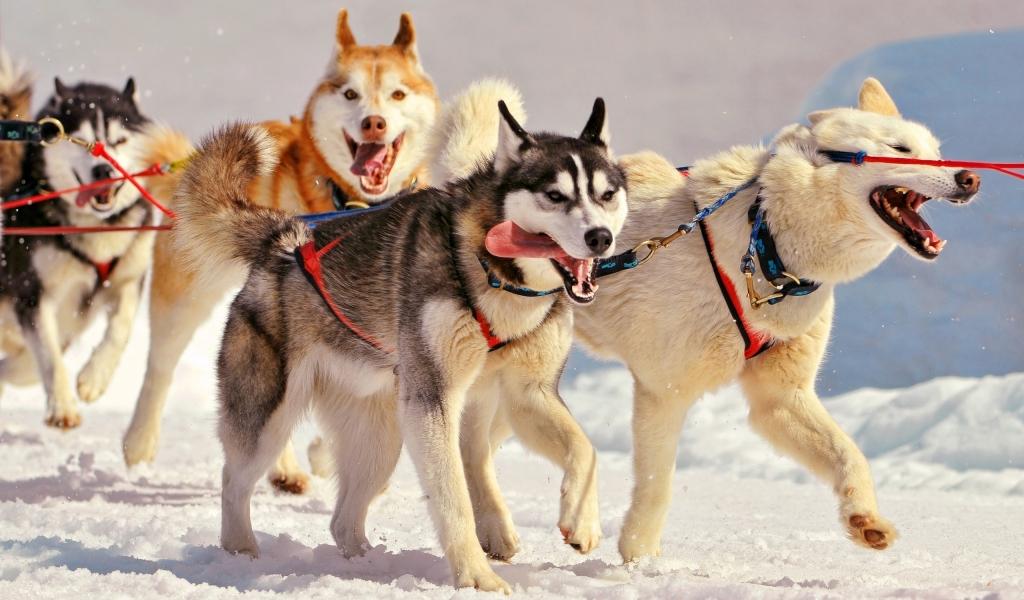 Perros en la nieve - 1024x600