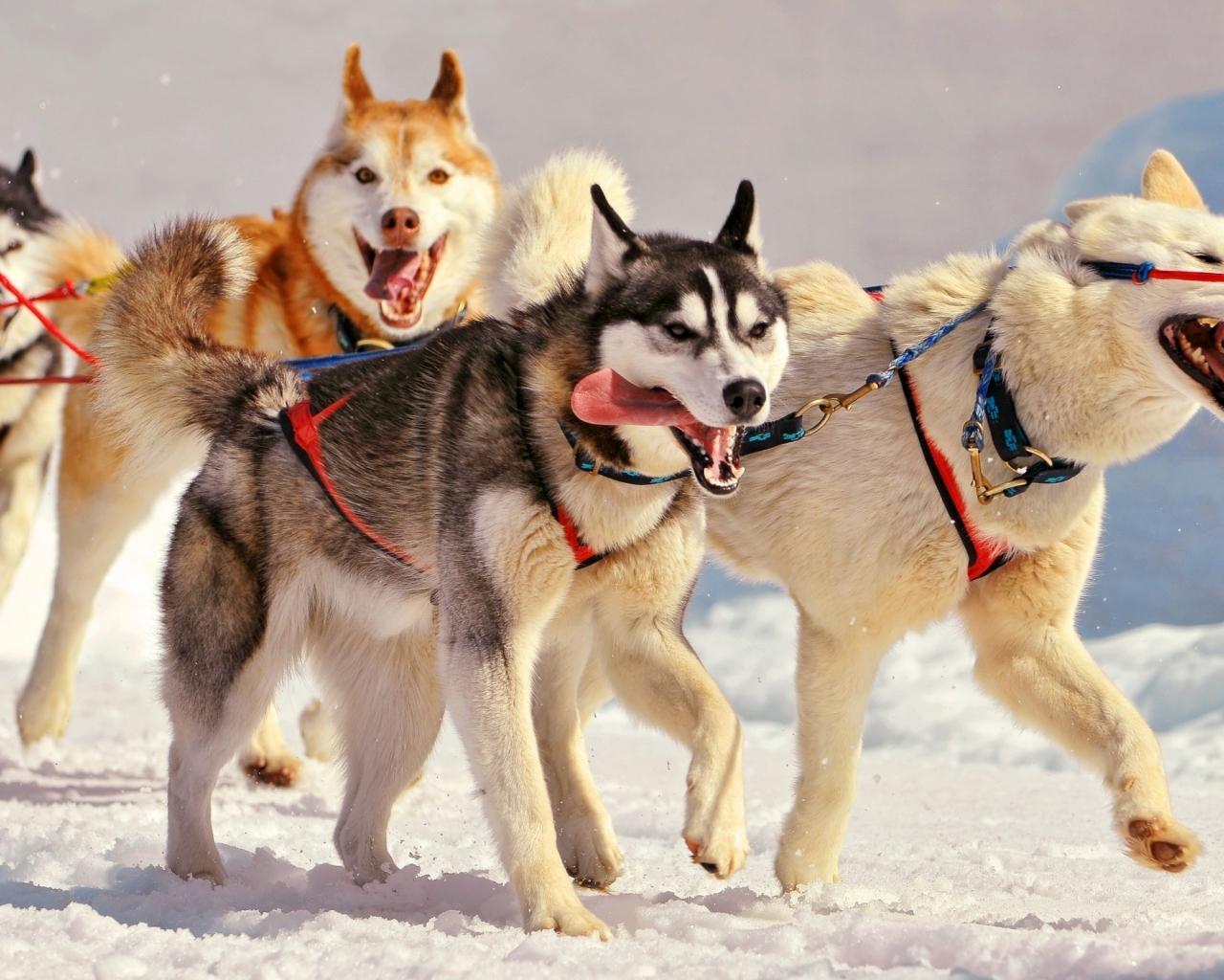 Perros en la nieve - 1280x1024