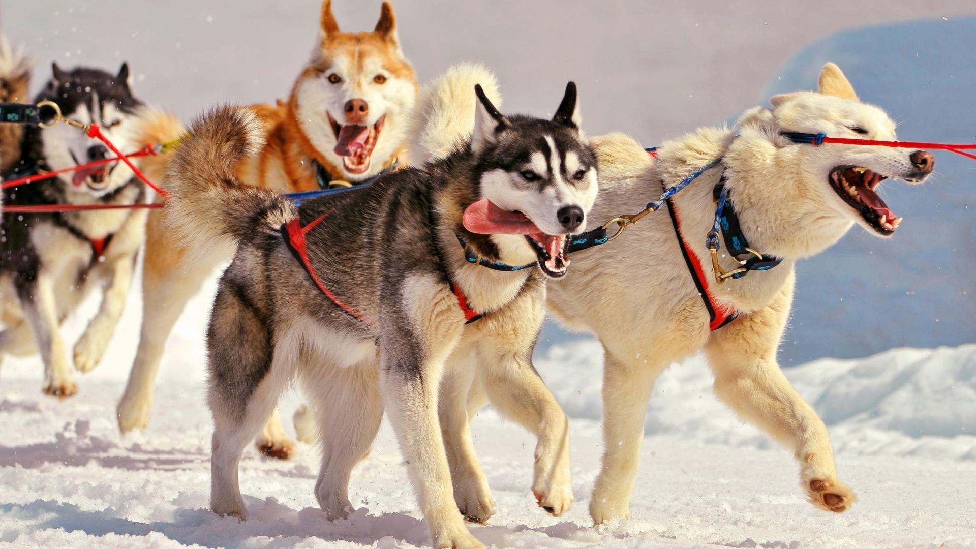 Perros en la nieve - 1920x1080