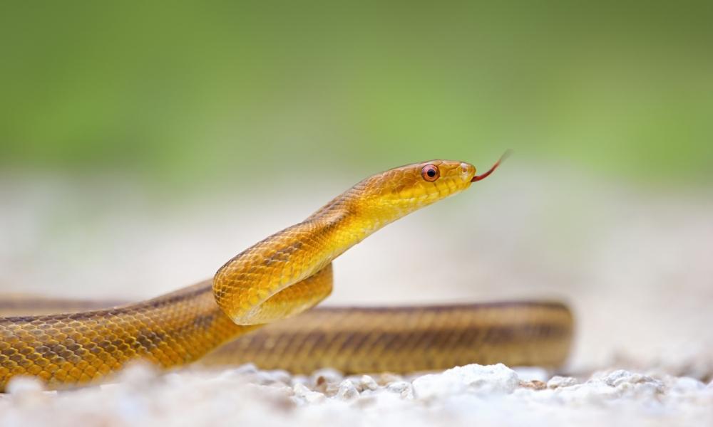 Serpiente amarilla - 1000x600