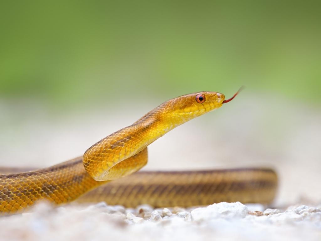 Serpiente amarilla - 1024x768