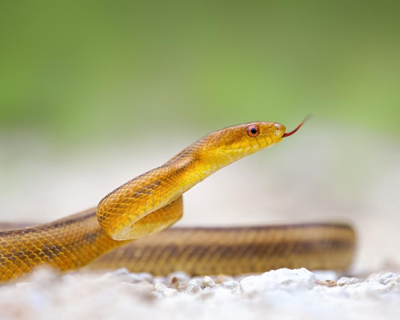 Serpiente amarilla - 1280x1024