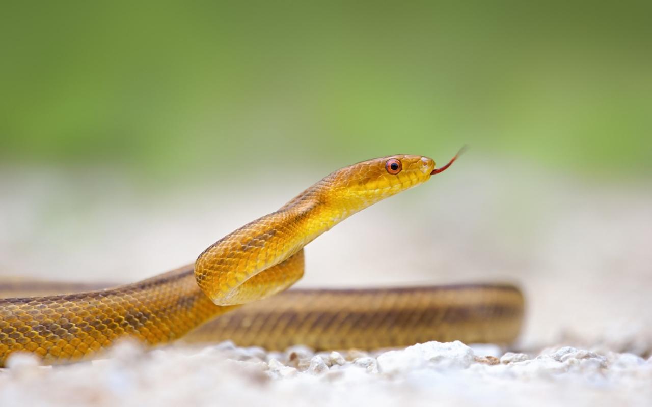 Serpiente amarilla - 1280x800