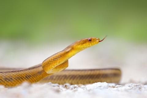 Serpiente amarilla - 480x320