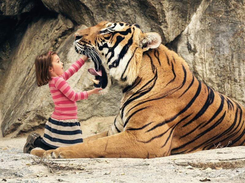 Tigre con boca abierta - 800x600