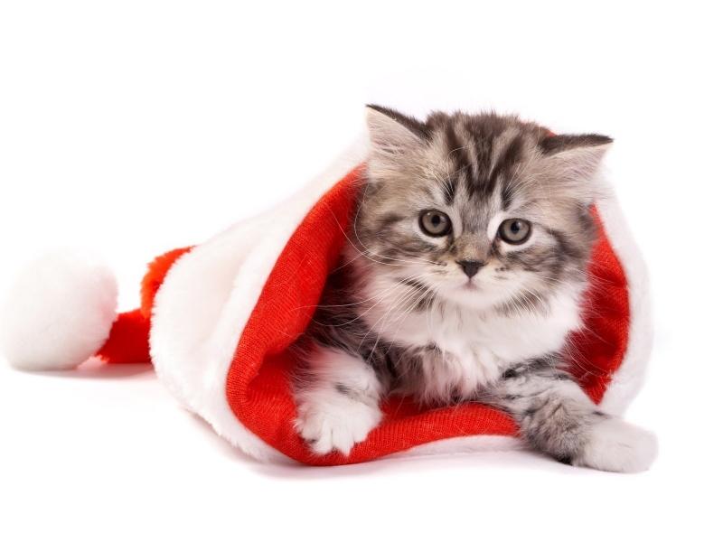 Un gato en un gorro de navidad - 800x600