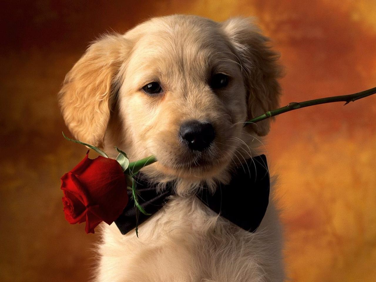 Un perro y una rosa - 1280x960