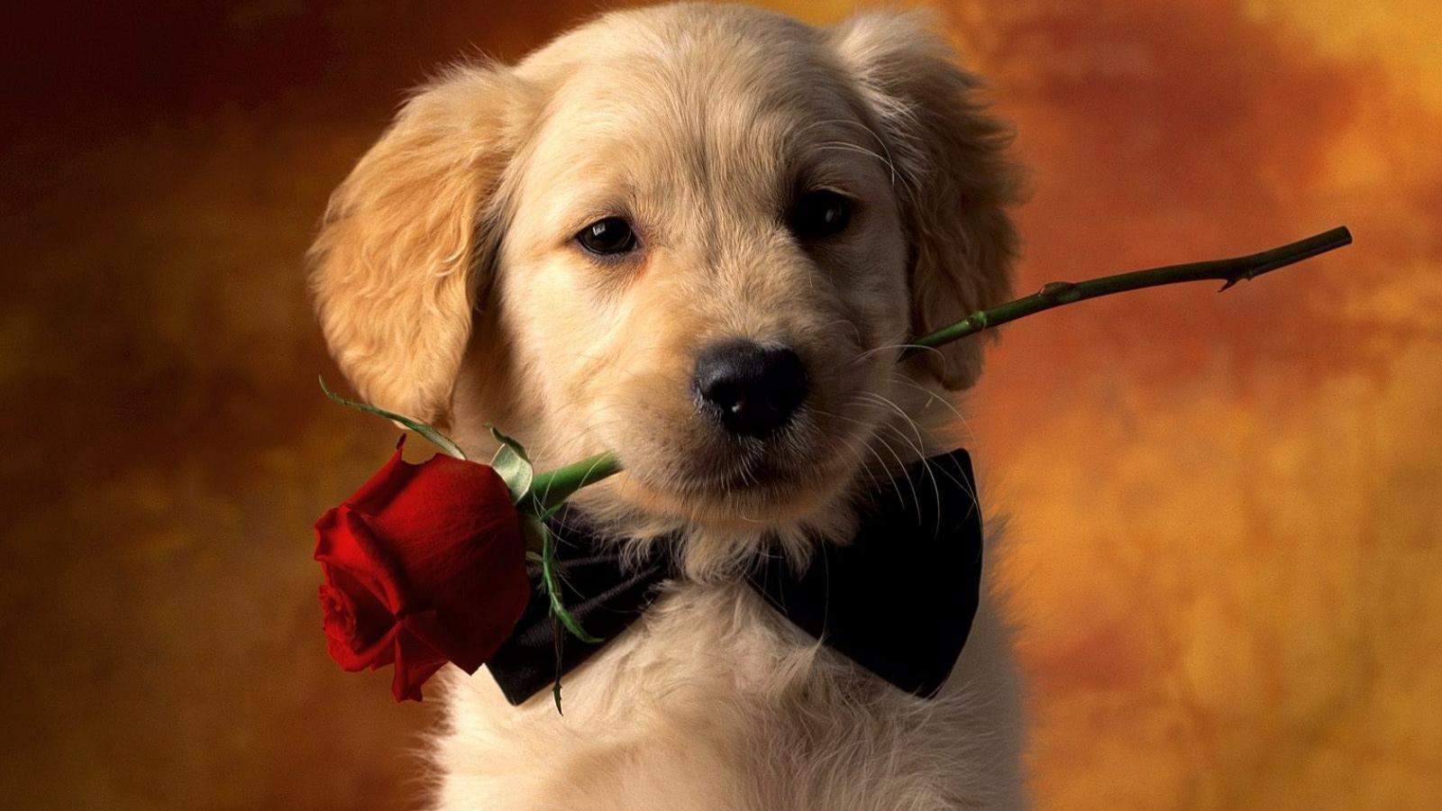 Un perro y una rosa - 1600x900
