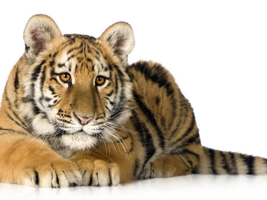 Un tigre acostado - 1024x768