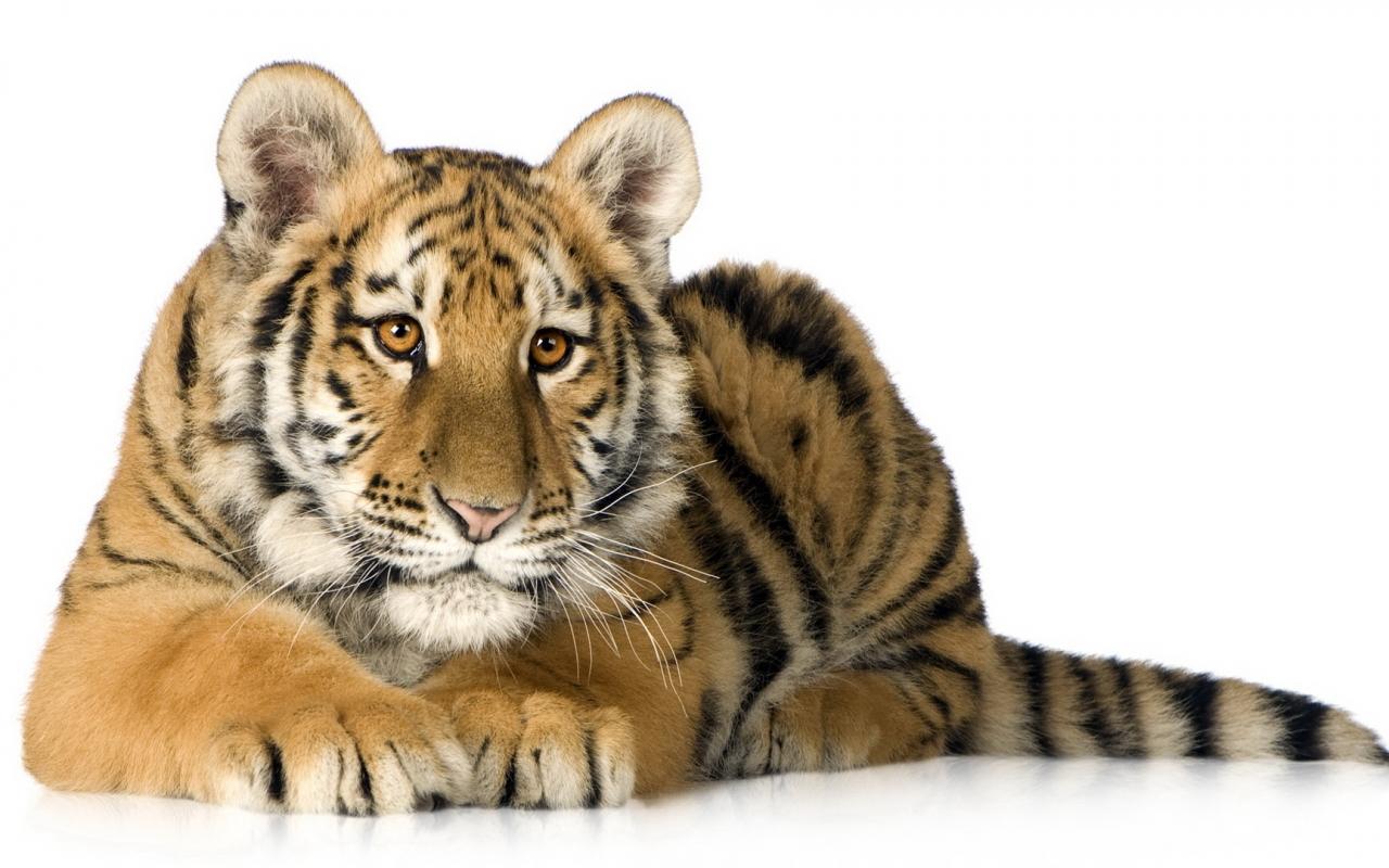 Un tigre acostado - 1280x800