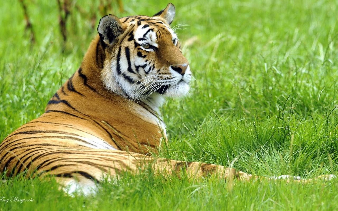 Un tigre en mi jardín - 1280x800