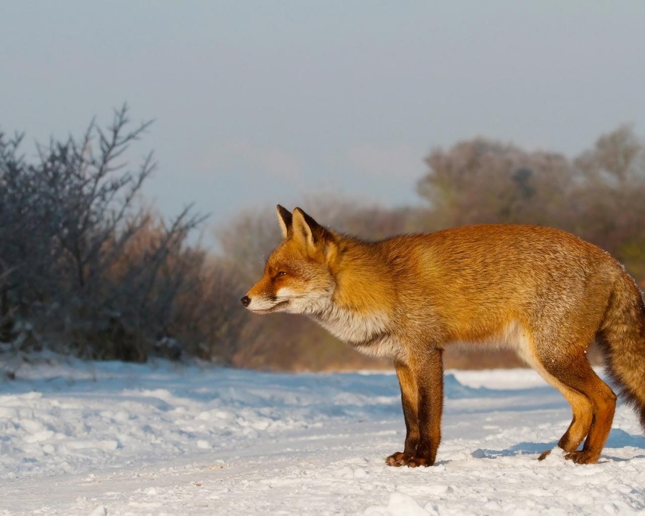 Un zorro en las nieves - 1280x1024