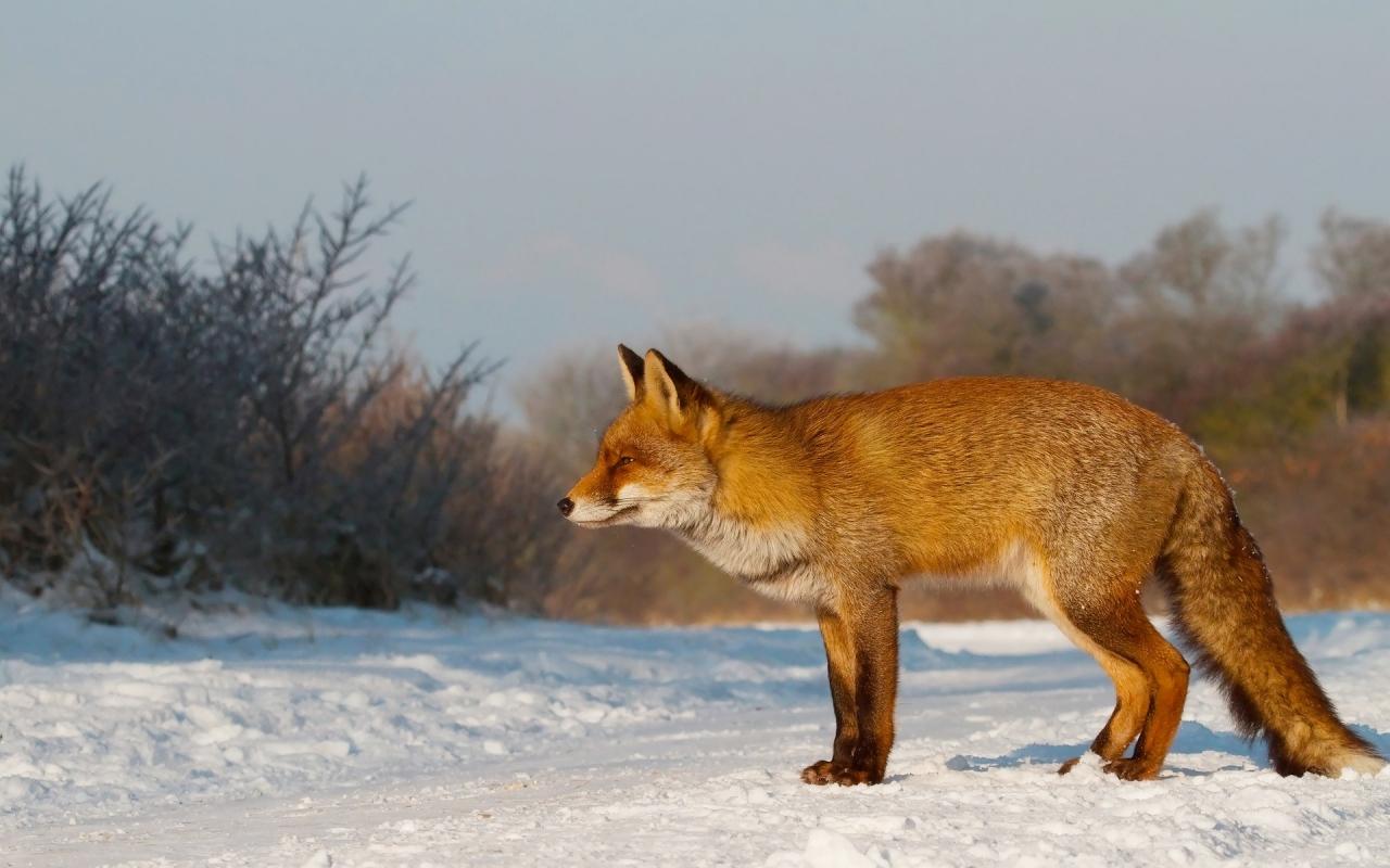 Un zorro en las nieves - 1280x800