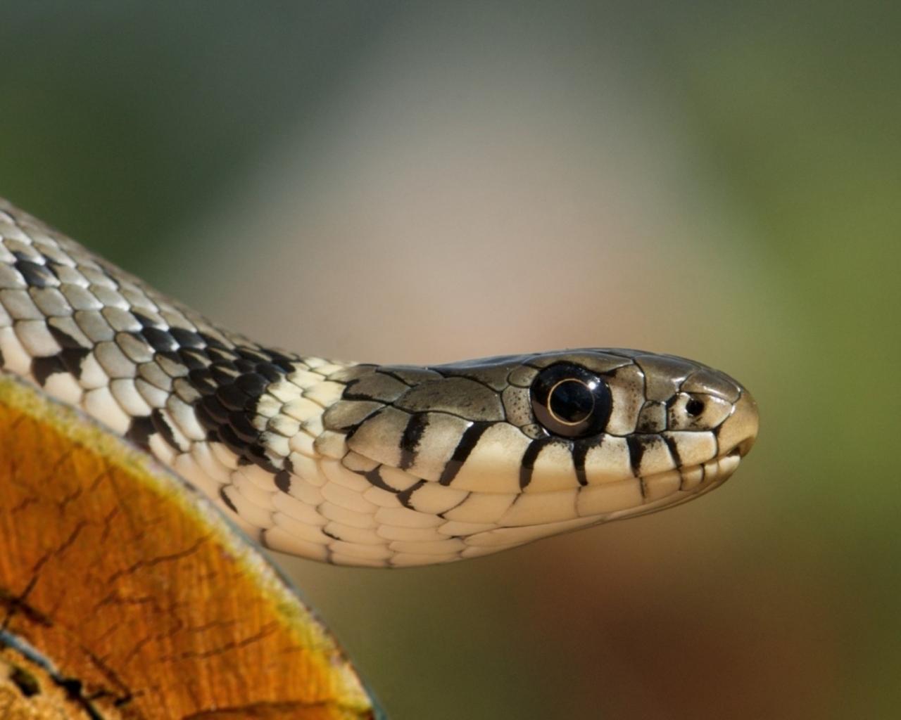 Una cobra - 1280x1024