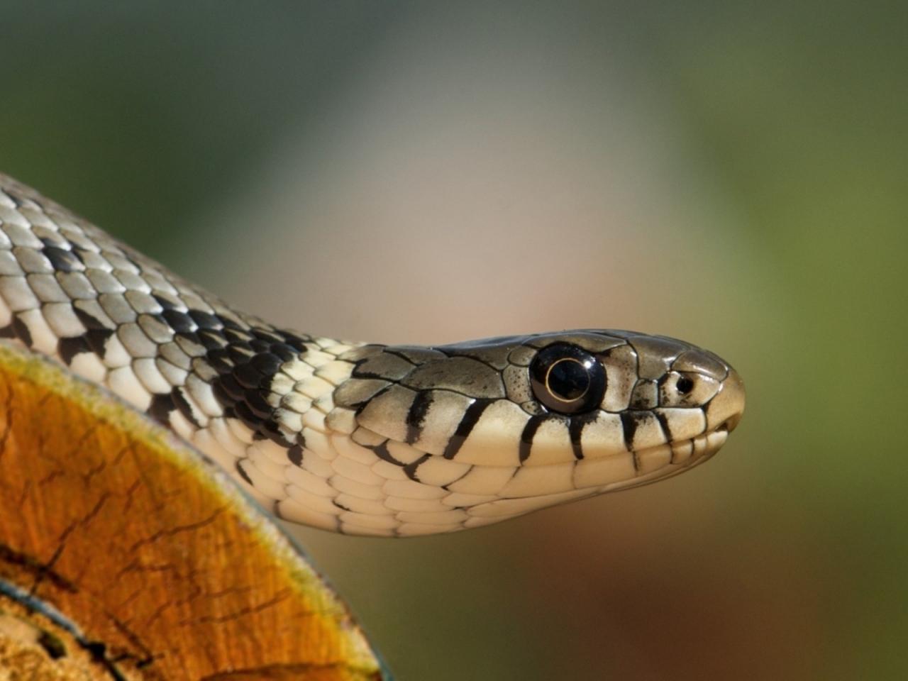 Una cobra - 1280x960