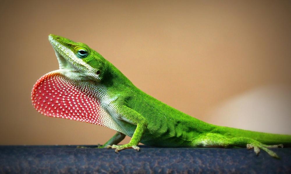 Una lagartija verde - 1000x600