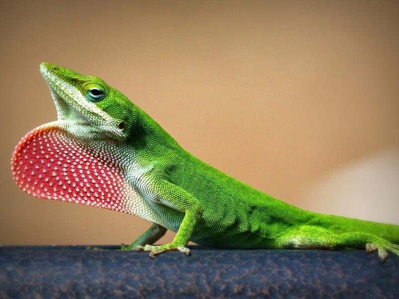 Una lagartija verde - 800x600