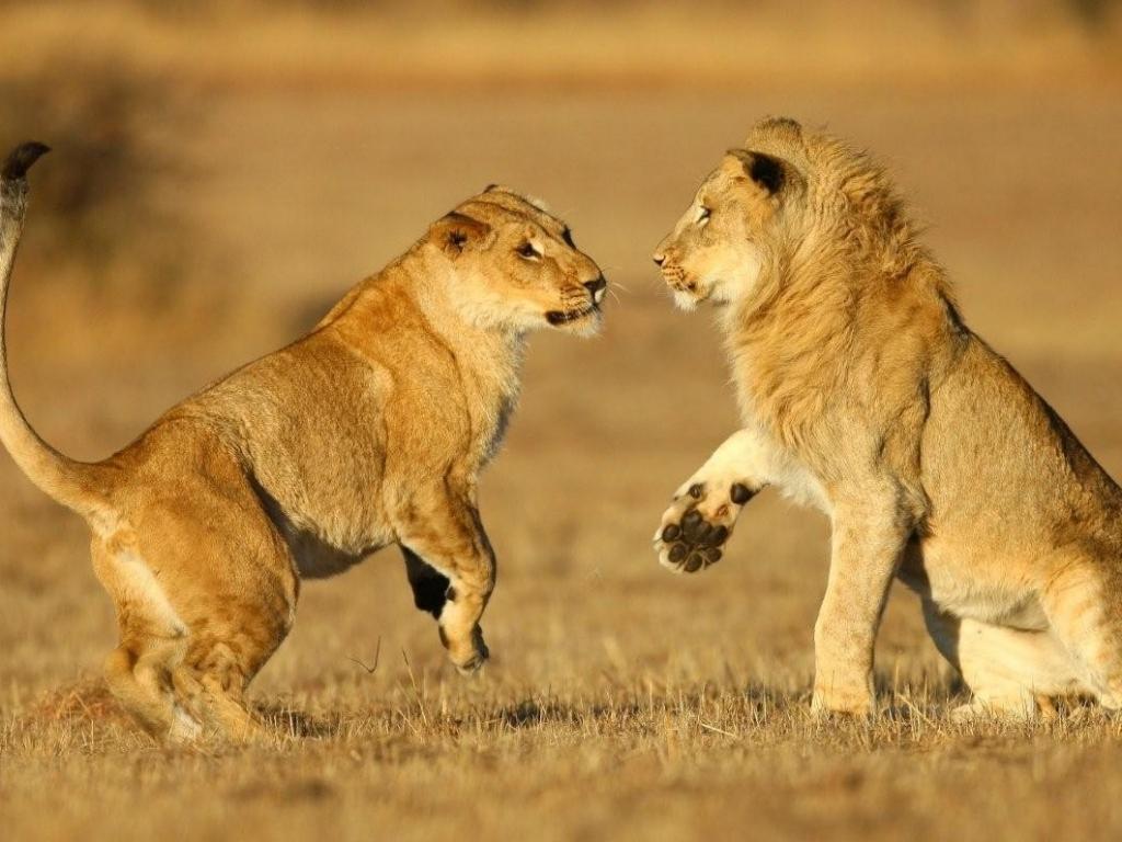 Una pareja de leones - 1024x768