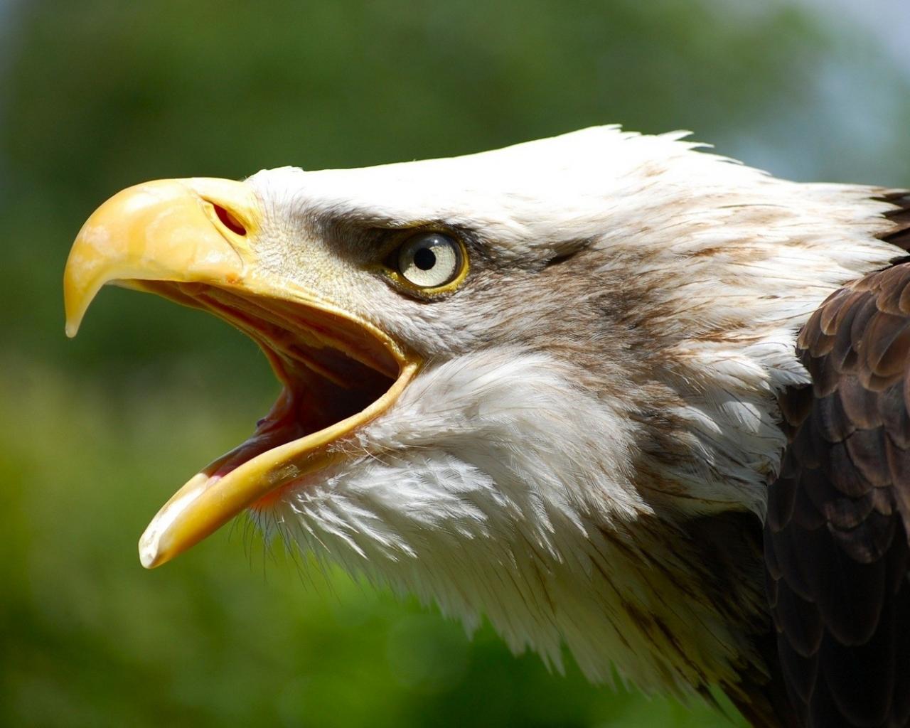 Aguila abriendo la boca - 1280x1024