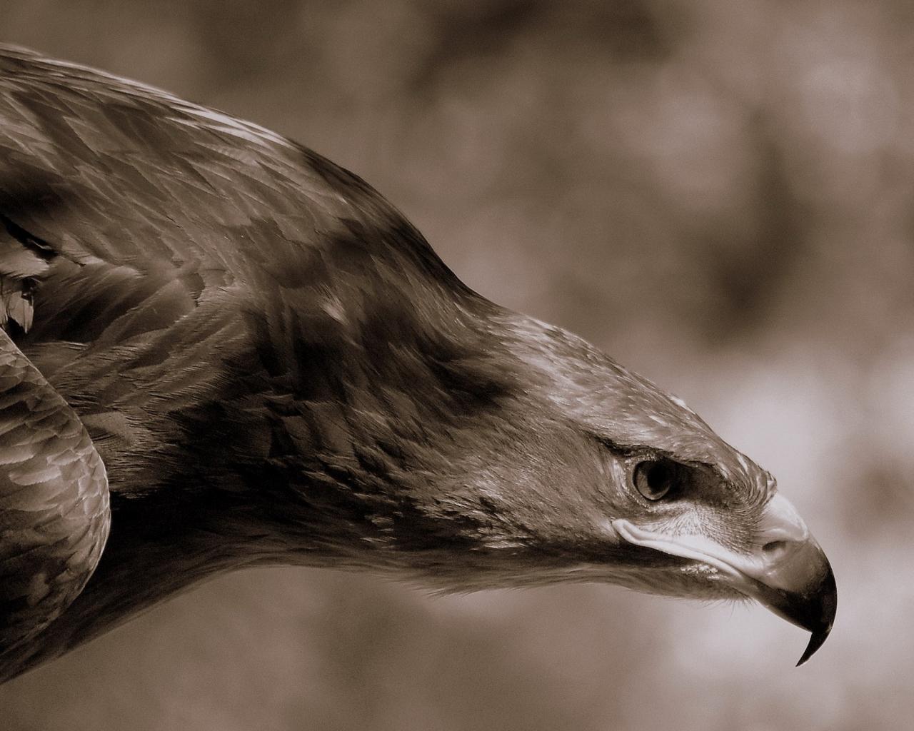 Aguila Marron en caceria - 1280x1024