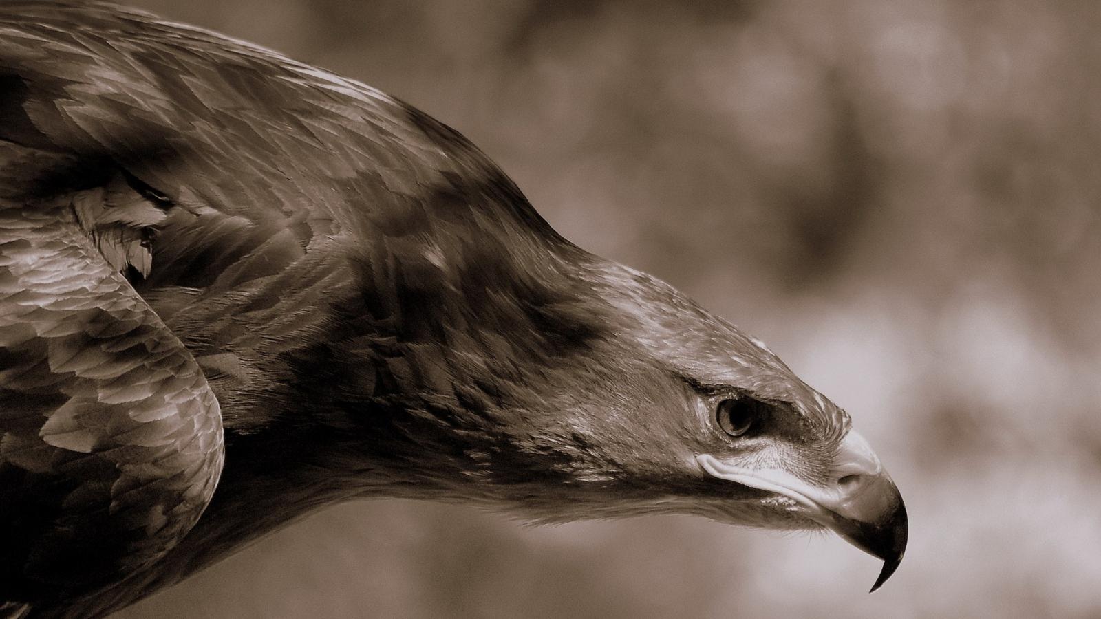 Aguila Marron en caceria - 1600x900