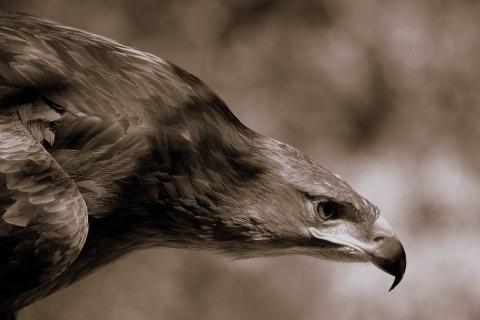 Aguila Marron en caceria - 480x320