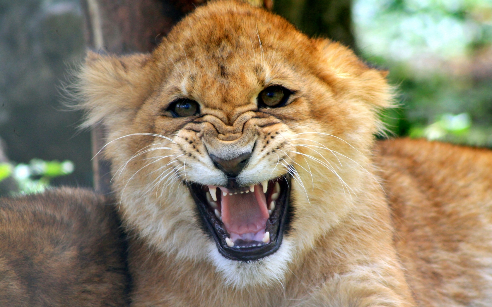 Cachorro león rugiendo - 1680x1050