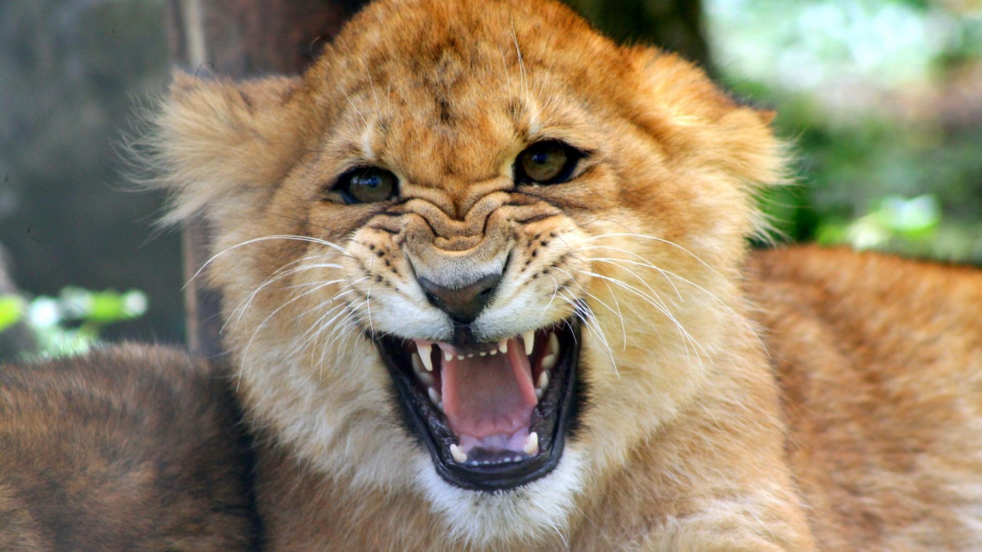 Cachorro león rugiendo - 1920x1080