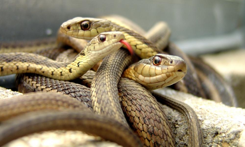 Familias de serpientes - 1000x600