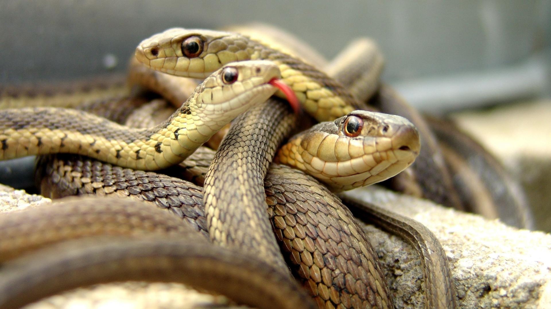 Familias de serpientes - 1920x1080