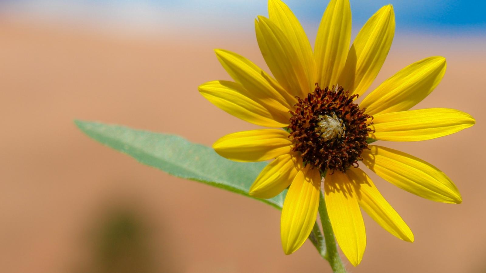 Flor amarilla en macro - 1600x900