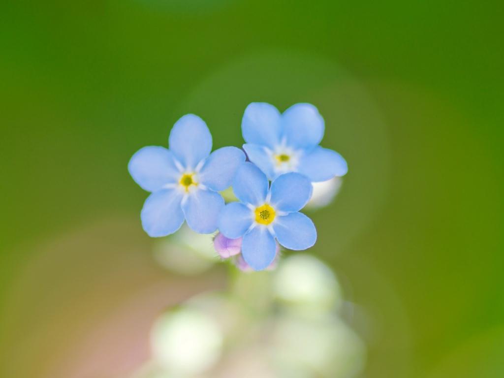 Flores azules en macro - 1024x768