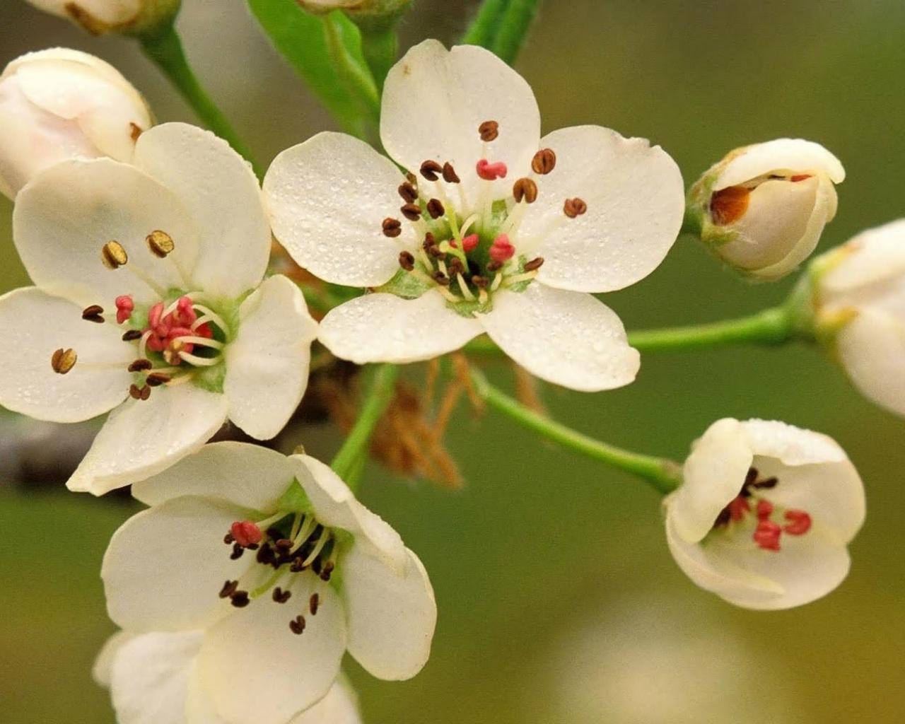 Flores blancas con pistilos - 1280x1024