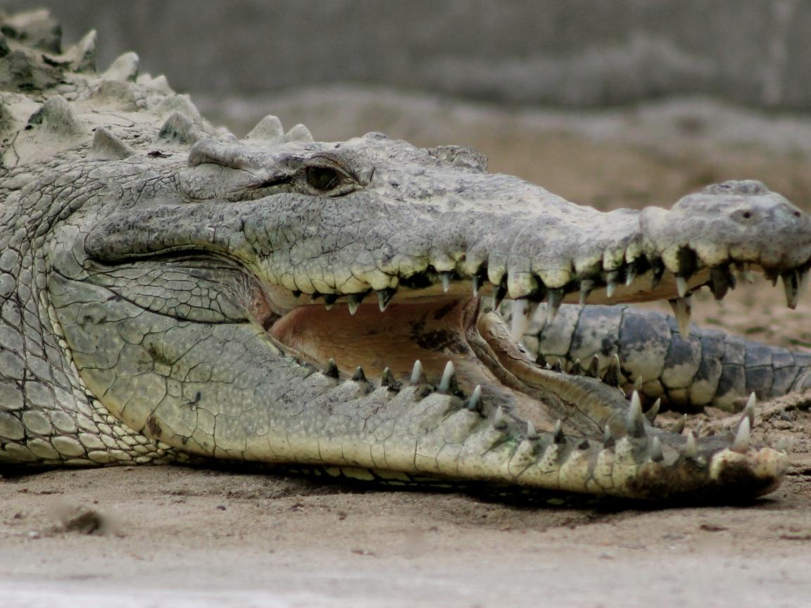 Gran cocodrilo - 1152x864