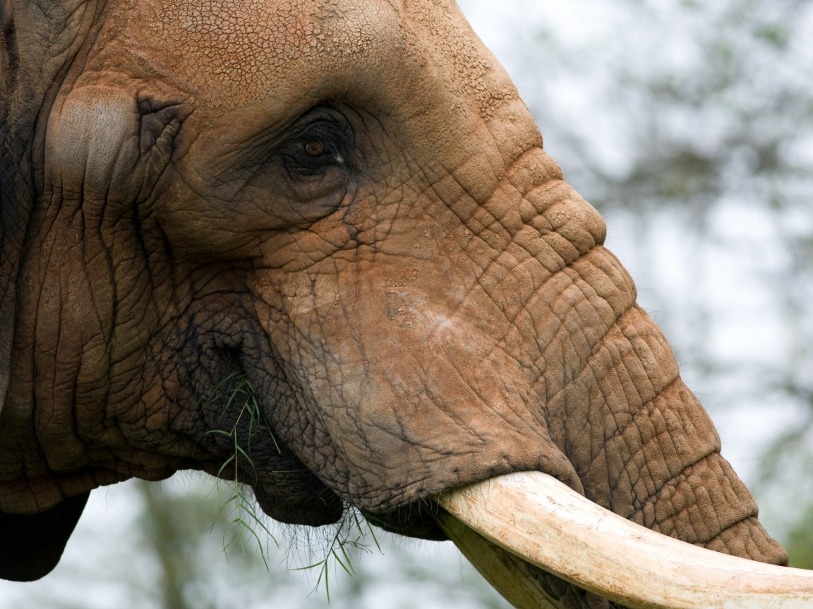 La cabeza de un elefante - 1152x864